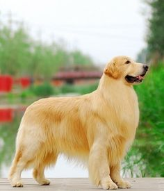 Golden Retriever, both said, a strong, lively dog, solid, various parts of the body with the reasonable, neither too long nor clumsy legs, facial expressions friendly personality enthusiasm, alertness, self-confidence. Because it is a hunting dog, and in the the hardship work environment in order to - See more at: http://www.k9studfinder.com/all-dog-breeds.php?&dog=Golden%20Retriever&id=4#sthash.PMx7oJsA.dpuf