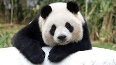 「panda」の画像検索結果