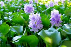 7 Best Plants for Koi Ponds - Garden Lovers Club Floating Pond Plants, African Great Lakes, Underwater Plants, Sun Loving Plants, Small Ponds, Different Plants, Aquatic Plants, Cool Plants, Water Lilies