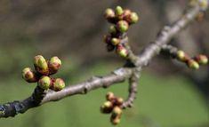 Domáca tinktúra z púčikov stromov Fruit, Simple, Food, Essen, Meals, Yemek, Eten