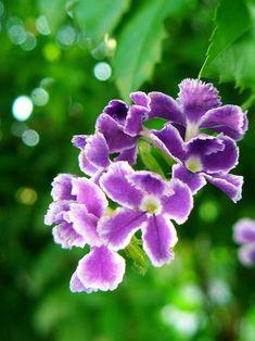 Duranta repens - Flor del cielo