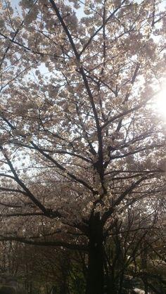 花見 cherry blossom @ Shinjuku
