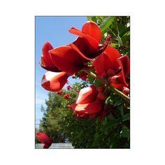 Karibisk Koralbusk - Tropiske specialiteter - Tropica-Scandi, den originale eksotiske fr- og plantehandel Conservatory Plants, Madness