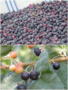 Flueggea Virosa ~ White Berry Bush ~ Edible Fruit ~ Fast Growing ~ RARE 5 Seeds