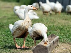 Keeping Geese - The Best and Most Natural Grass Control Ever | Pets4Homes