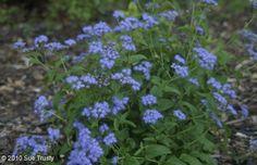 "Conoclinium coelestinum Blue Mistflower Native to Harris County Shade Perennial Space 12"" apart"