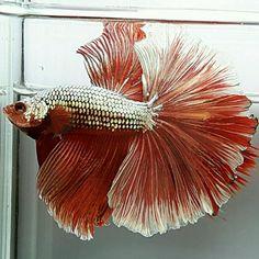 AquaBid.com -  HM COPPER RED SPARK GOLD