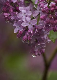 Limited Time Promotion: Lilacs After The Rain museum-quality stretched canvas print, 11 x 14 for just $49 until 04/02/2014 at 5:00 p.m. Eastern time.  Photo by Penny Meyers