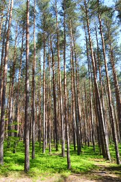 Bosque polonês.  Fotografia: Paul Brannan no Flickr.