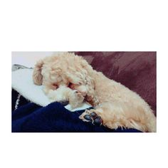 #dog#dogstagram#toypoodle#puppy#poodlelove#todayswanko#ig_dogphoto#all_dog_japan#international_animals#bestfriends_dogs#total_dogs#max#犬のいる暮らし#トイプードル#トイプードル部#ふわもこ部#犬バカ部#親バカ部#愛犬#犬好きな人と繋がりたい#今日のマックス . . . . #寝顔. . としがいないから私. お腹の上でスヤスヤ〜💤. . 今からランチ🍴💘. . 急いで準備しないとっ!!. . . .