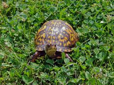Eastern Box Turtle (Terrapene carolina) [Photo taken by J.Lewis in south-central WV with a 6 MP digital camera.]