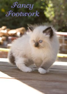 This was my rag doll cat, Zeus as a kitten!