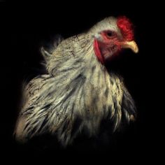 "A Crown of Red - The handsome, inquisitive ""Blue-ribbon winning"" Rooster at the Brome Fair in Quebec, Canada."