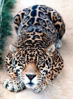 """the Jaguar. Look at that amazing coat. Jaguars tend to have larger, closed rosettes with spots in the middle; the leopard has plain open or """"broken"""" rosettes with no central spot in the middle so this is a Jaguar. Crazy Cats, Big Cats, Cats And Kittens, Nature Animals, Animals And Pets, Wild Animals, Beautiful Cats, Animals Beautiful, Beautiful Beach"""