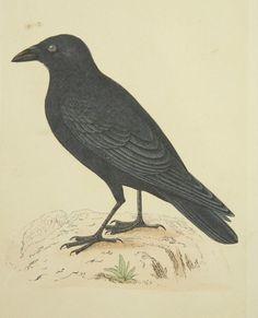 ANTIQUE BIRD CROW COLOUR ENGRAVING LITHOGRAPH
