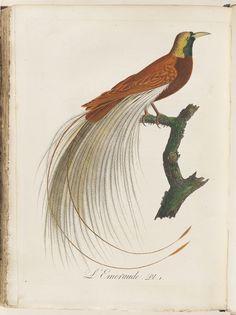 L'Ermiraude from  L'Histoire des grimpereaux et des oiseaux de paradis.