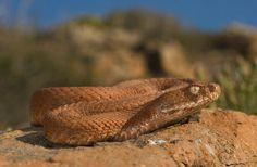 Milos viper