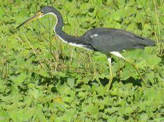 Bird Photos, Birding Sites, Bird Information: ADULT & JUVENILE TRICOLORED HERONS, EAGLE LAKES CO...