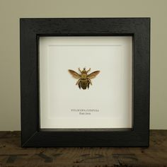The Carpenter Bee in Box Frame (Xylocopa confusa)