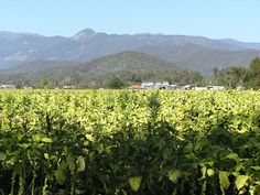 Myrtleford, Victoria; looking across tobacco crop to drying kilns and the Mount Buffalo National Park in the distance. Public Domain Image