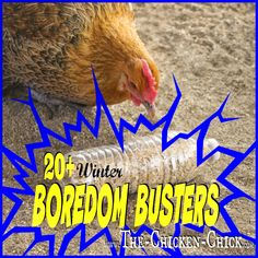 Whenever chickens are suddenly confined to spaces smaller than they ordinarily enjoy, boredom and behavioral problems such as feather picking, and egg-eating can result. By having some go-to boredom busters up one's sleeve in lousy weather, chickens can b Chicken Toys, Chicken Treats, Chicken Chick, Chicken Lady, Chicken Houses, Chicken Games, City Chicken, Farm Chicken, Chicken Tractors