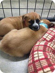 Plainfield, IL - Boxer Mix. Meet Billings, a puppy for adoption. http://www.adoptapet.com/pet/16188351-plainfield-illinois-boxer-mix