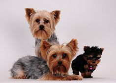 Perfect Yorkie family