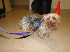 PAUL **HIT BY CAR (BROUGHT IN WITH DH114)**     RR3 ID #A15403798     ALTERED MALE YORKSHIRE TERRIER MIX (SILVER/TAN)     ADULT – SMALL     STRAY ACO PICKUP/DROP OFF (MERRYWOOD & MAYFIELD)     INTAKE 02/09/12   AVAILABLE 02/17/12 7:54PM     Paul was out with his puppy pal in DH114 and ended up getting hit by a car. His injuries seem to be minor. He can walk, but seems to be favoring one side when he walks. If his owners don't come for him, he will be taking applications for a new family…