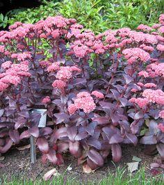 Sedum 'Purple Emperor'. Stunning = everyone notices it. Flowers from mid-summer. Provides beautiful winter structure.
