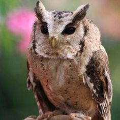 インドオオコノハズク 【学名】Otus bakkamoena 【英名】Indian Scops Owl 【分布】アジア 【体長】19~23cm