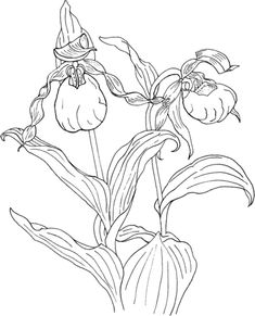 Orquídea de Bailarina Cypripedium Calceolus Dibujo para colorear