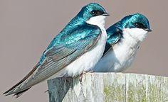 Tree Swallows by Brian Kushner via Birdshare