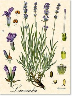 botanical illustration of lavender herb