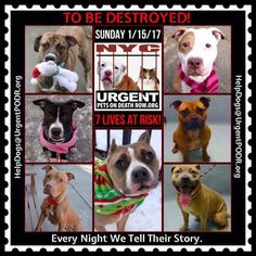 TO BE DESTROYED 01/15/17 - - Info   To rescue a Death Row Dog, Please read this:http://information.urgentpodr.org/adoption-info-and-list-of-rescues/  To view the full album, please click here:http://nycdogs.urgentpodr.org/tbd-dogs-page/ -  Click for info & Current Status: http://nycdogs.urgentpodr.org/to-be-destroyed-4915/