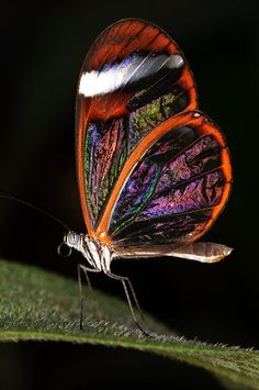 Glasswinged Butterfly /Beautiful Colors in this Photograph! Butterfly Photos, Butterfly Kisses, Butterfly Flowers, Butterfly Wings, Beautiful Bugs, Beautiful Butterflies, Amazing Nature, Beautiful Creatures, Animals Beautiful