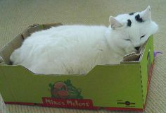 Cat asleep in a small box