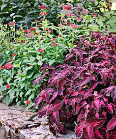 Coleus Plants: Varieties, Care & Growing Them - This Old House Coleus Care, Endless Summer Hydrangea, White Flower Farm, Yellow Leaves, Potting Soil, Begonia, Propagation, Container Plants, Lawn And Garden