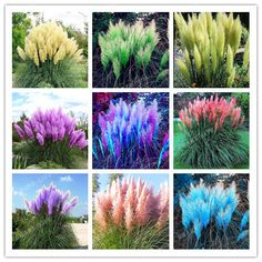 Like and Share if you want this 500pcs Rare Pampas Garss,Pampas Seed,Pampas Grass Plant,Ornamental Plant Flowers Cortaderia Selloana Grass Seeds for home garden Tag a friend who would love this! Need To Buy - Smarter Shopping, Better Living! Price: 1.99 & FREE Shipping Buy one here---> https://needtobuy.co/product/500pcs-rare-pampas-garsspampas-seedpampas-grass-plantornamental-plant-flowers-cortaderia-selloana-grass-seeds-for-home-garden/
