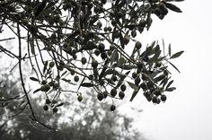 Rainy day in Tuscany... #Laudemio #Tuscany #rain #olivetree