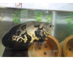 7 inch Black Tiger Oscar Fish 4 Cheap Rate Cichlid Fish, Cichlids, Tiger Oscar Fish, Aquarium Fish For Sale, Fish Breeding, Black Tigers, Freshwater Fish, Tropical Fish, Fish Tank