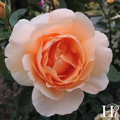 Shrubs Abbaye de Cluny®™ - Delicate, rich, apricot tones with cupped antique-style blooms. A spicy fragrance fills the air around this lovely rose. The blooms are immense in size. A vigorous yet compact plant with deep-green foliage. Heirloom Roses, Types Of Roses, Shrub Roses, Growing Roses, Planting Roses, Rose Bush, Easy Garden, Medicinal Plants, Beautiful Roses
