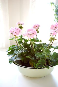 Rose cottage.  Geraniums in a bowl