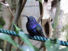 Violet Sabrewing hummingbird. Looking very fierce. Cafe Colibri, Monteverde, Costa Rica