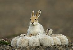 Arctic Hare and Leverets ~ Fred Lemire