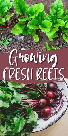 Growing beets in the home vegetable garden nets delicious and brilliantly colored roots, perfect for adding to salads or pickling. The flavor of homegrown beets can't be beat!