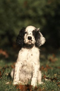 English Setter! This looks like Jimmm