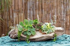 2 Succulent & Driftwood Arrangements; 1 Tabletop, 1 Hanging. Here are 2 DIY succulent & driftwood arrangements - 1 for the table & 1 to hang.  See the step by steps plus the materials you need to make these designs.