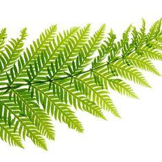 Giant chain fern