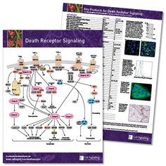 Key Signaling Pathways and Diagrams B Cell, Cell Growth, Alzheimers, Amino Acids, Pathways, Thesis, Dna, Markers, Diagram