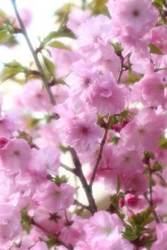 SAKURA(Cherry blossom) / Setagaya, Tokyo
